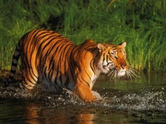 Tigre_051_1600x1200